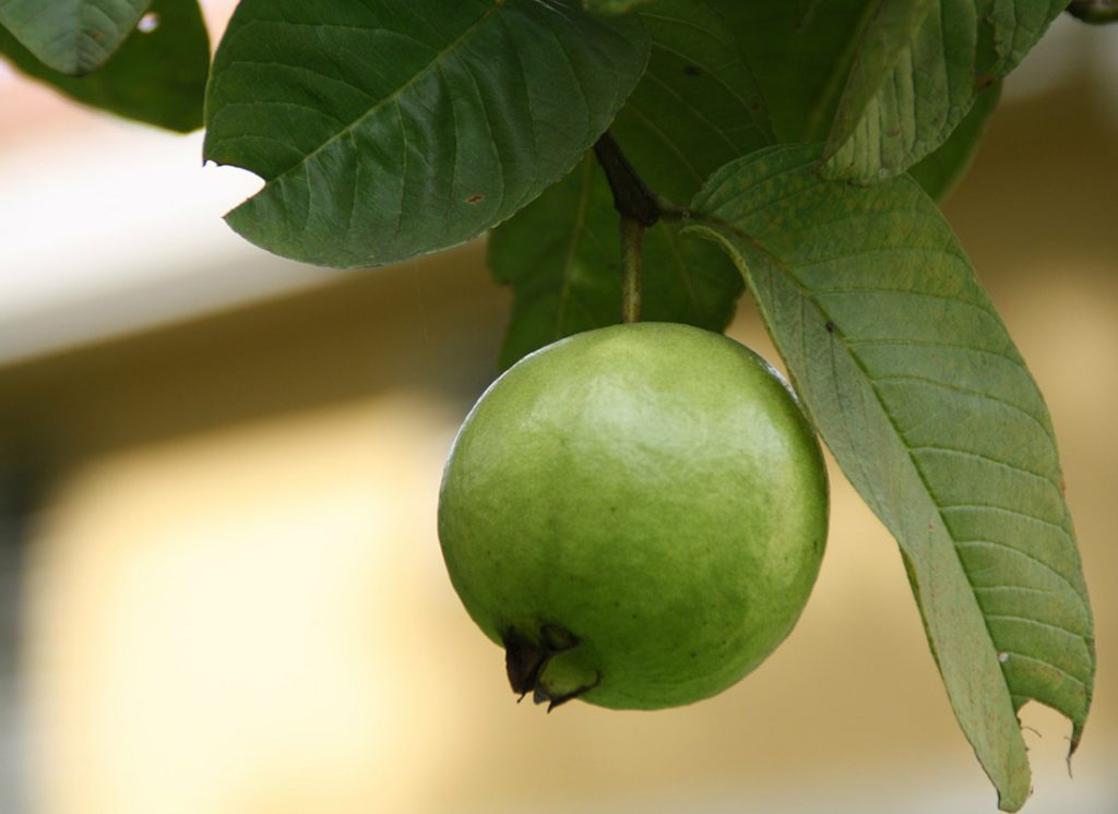 guava leaf natural treatment for giardia infections byron bay australian naturopath gut health specialist