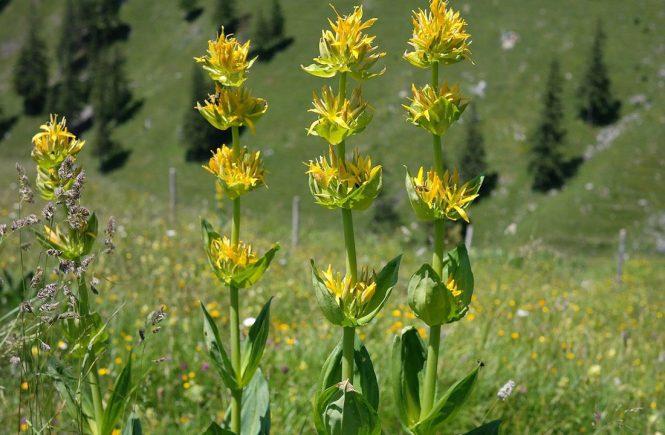 gentian herbal medicine for gut health natural better digestion