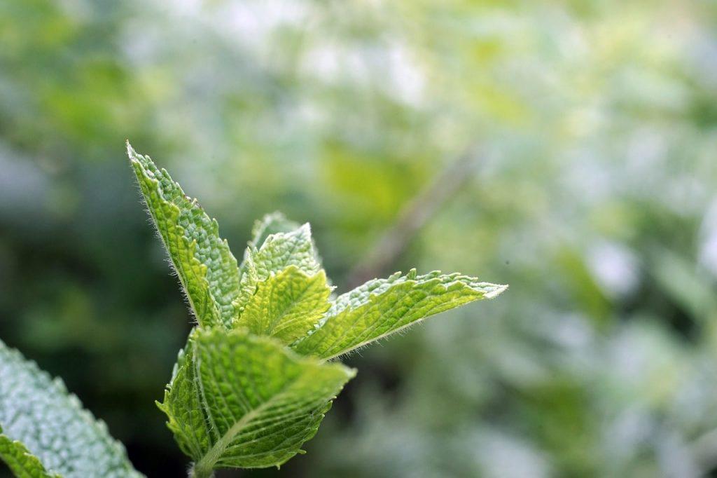 peppermint herbal medicine gut health digestive health