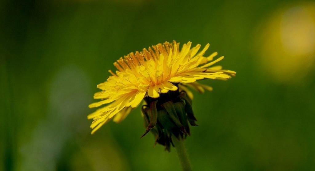 dandelion root herbal medicine byron bay herbalist australian naturopath gut health expert